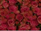 Woven Cotton Fabric - Rosea